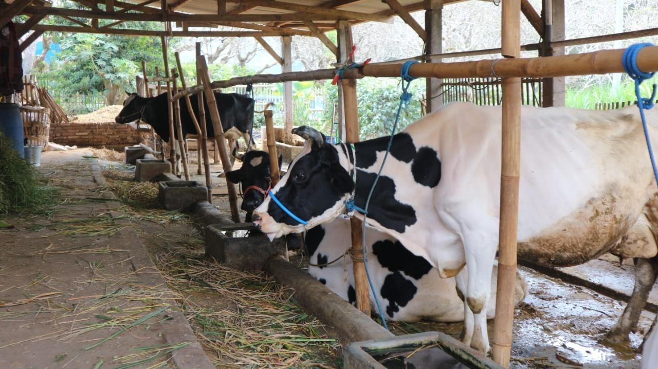 Peternakan sapi perah di Kecamatan Karangploso, Kabupaten Malang yang akan memanfaatkan hasil cacahan mesin pencacah rumput bertenaga listrik karya Tim KKN Abmas ITS